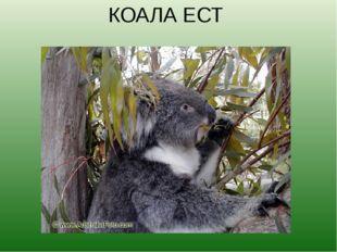 КОАЛА ЕСТ Коалы живут на эвкалиптовых деревьях. Пахучие листья и молодые побе