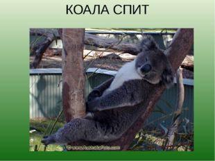 КОАЛА СПИТ Коалы — сумеречные животные. В полусонном состоянии они проводят п