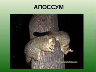 АПОССУМ Поссумы – это небольшие, размером с кошку, австралийские животные. Их