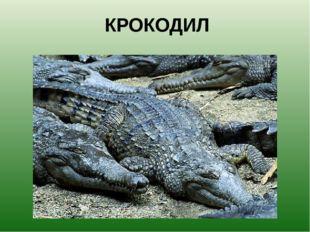 КРОКОДИЛ Отдыхая, крокодил часто открывает пасть, чтобы дать отдохнуть и свои