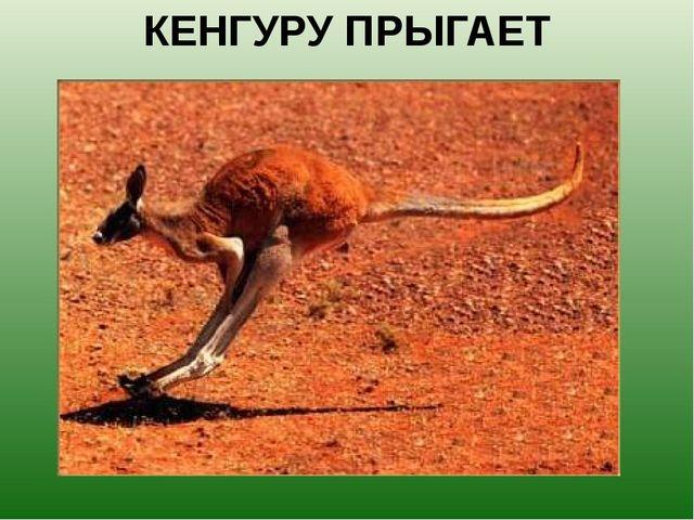 КЕНГУРУ ПРЫГАЕТ Кенгуру – прыгуны, об этом знают все, но не все знают, что он...