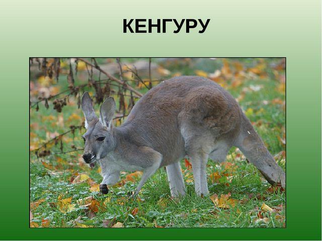 КЕНГУРУ Необыкновенное животное. Медлительное и быстрое, доверчивое и боязлив...