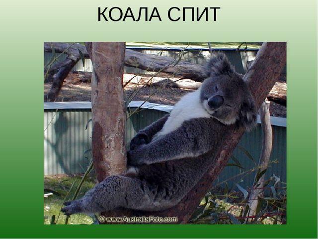 КОАЛА СПИТ Коалы — сумеречные животные. В полусонном состоянии они проводят п...