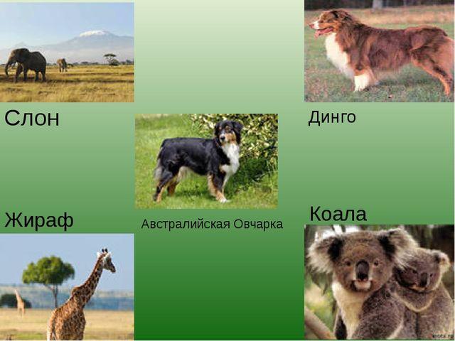 Слон Жираф Коала Динго Австралийская Овчарка