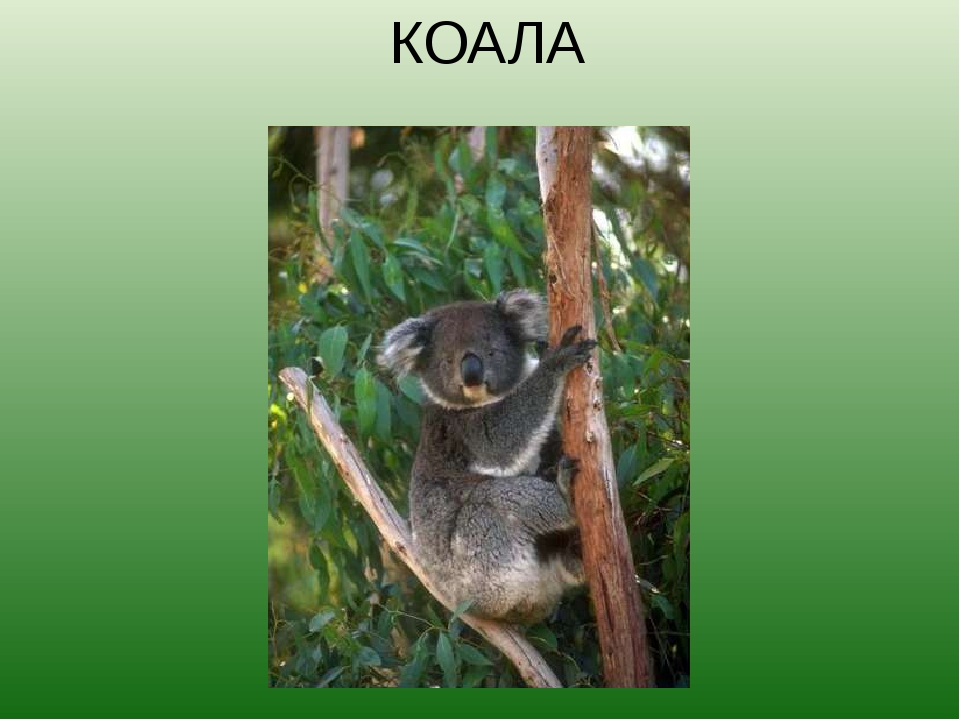 КОАЛА Слово «коала» в переводе с языка аборигенов означает «не испытывающий ж...