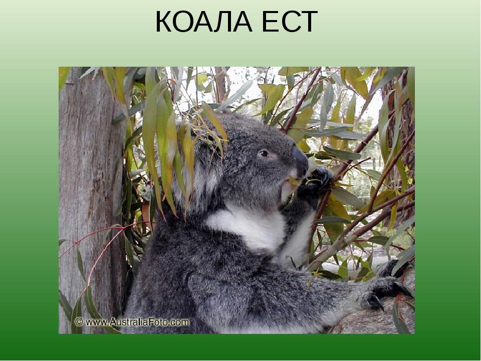 КОАЛА ЕСТ Коалы живут на эвкалиптовых деревьях. Пахучие листья и молодые побе...