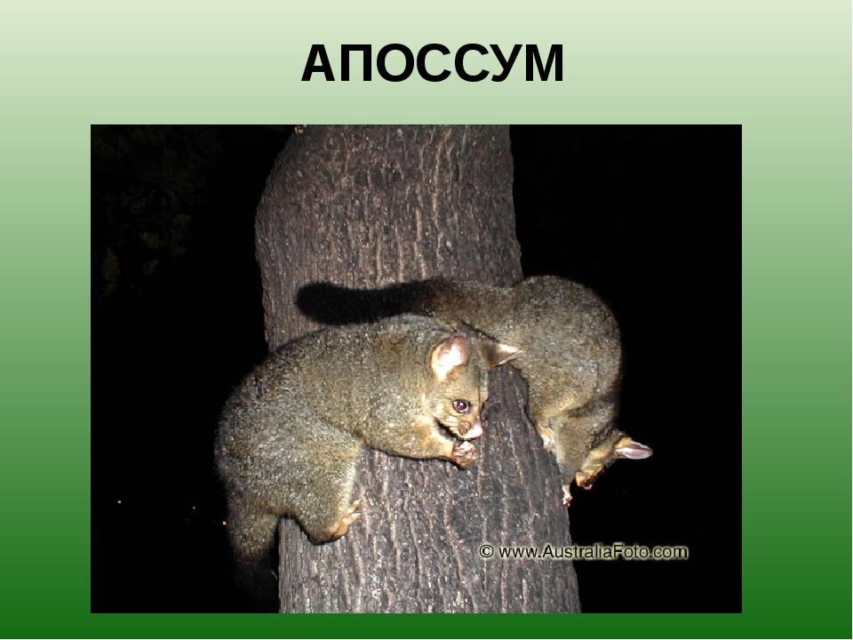 АПОССУМ Поссумы – это небольшие, размером с кошку, австралийские животные. Их...