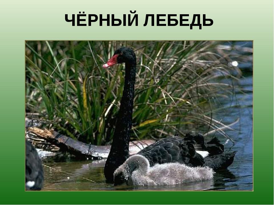 ЧЁРНЫЙ ЛЕБЕДЬ Родина черных лебедей – Автсралия.
