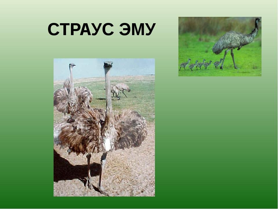 СТРАУС ЭМУ Страус Эму-вторая по величине птица в мире. У них длинная шея и оч...