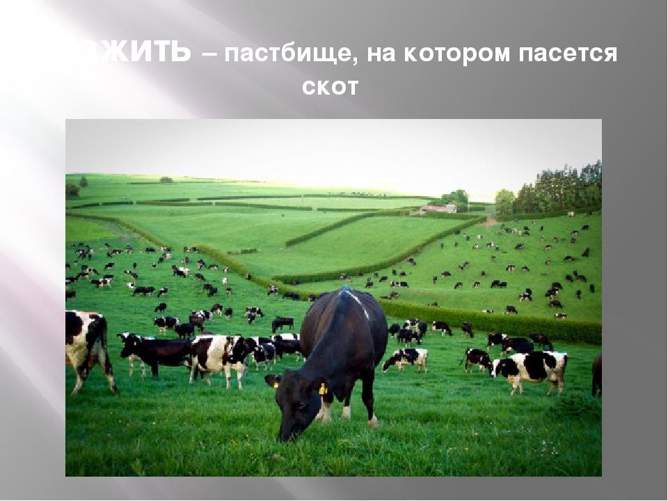 Пажить – пастбище, на котором пасется скот