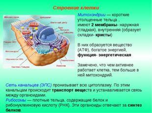 Сеть канальцев (ЭПС) пронизывает всю цитоплазму. По этим канальцам происходит