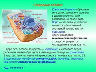 В ядре есть особое вещество — хроматин, из которого перед делением клетки обр
