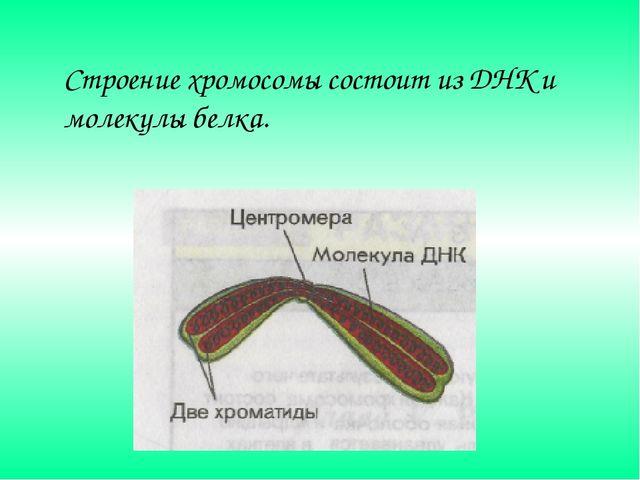 Строение хромосомы состоит из ДНК и молекулы белка.
