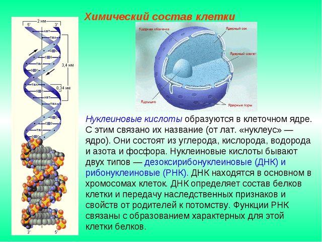 Нуклеиновые кислоты образуются в клеточном ядре. С этим связано их название (...