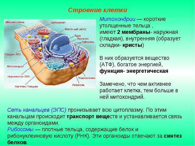 Сеть канальцев (ЭПС) пронизывает всю цитоплазму. По этим канальцам происходит...
