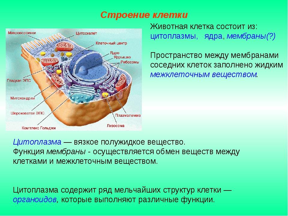 Цитоплазма — вязкое полужидкое вещество. Функция мембраны - осуществляется об...