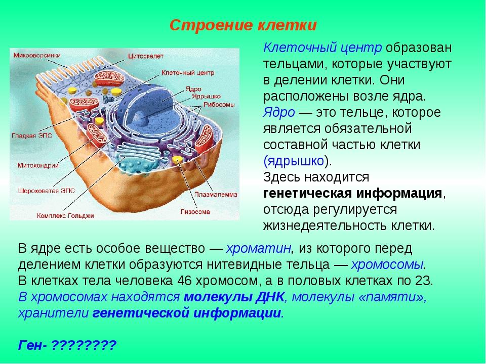 В ядре есть особое вещество — хроматин, из которого перед делением клетки обр...