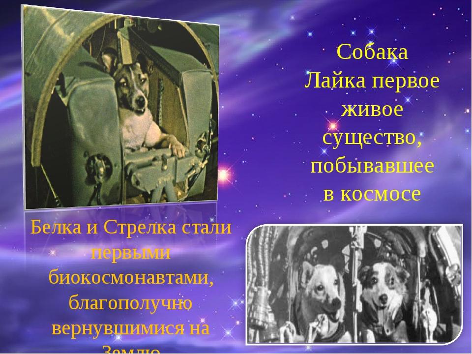 Собака Лайка первое живое существо, побывавшее в космосе Белка и Стрелка стал...