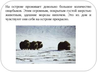 На острове проживает довольно большое количество овцебыков. Этим огромным, по
