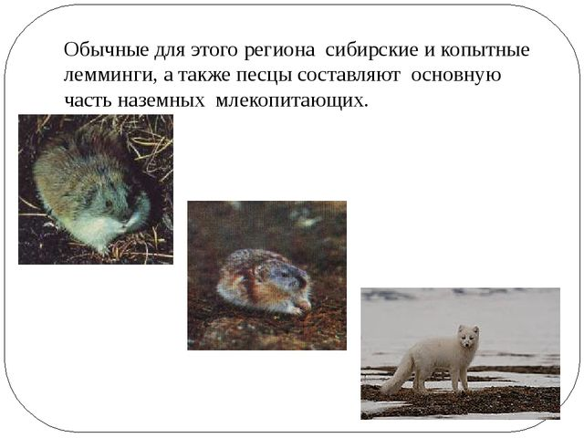 Обычные для этого региона сибирские и копытные лемминги, а также песцы состав...