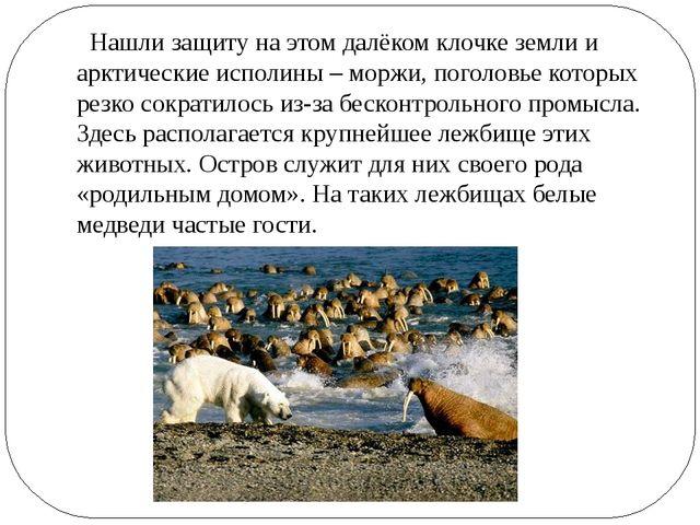 Нашли защиту на этом далёком клочке земли и арктические исполины – моржи, по...
