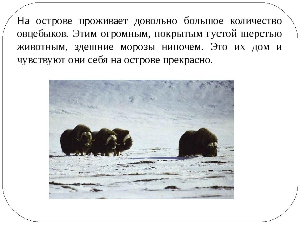 На острове проживает довольно большое количество овцебыков. Этим огромным, по...
