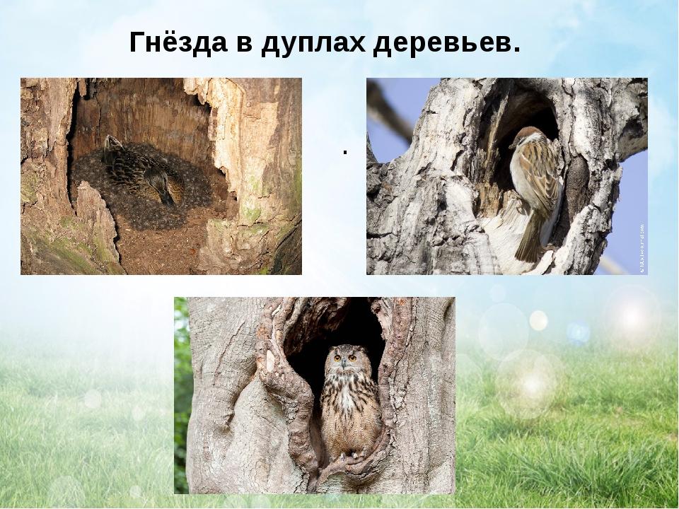 Гнёзда в дуплах деревьев. .