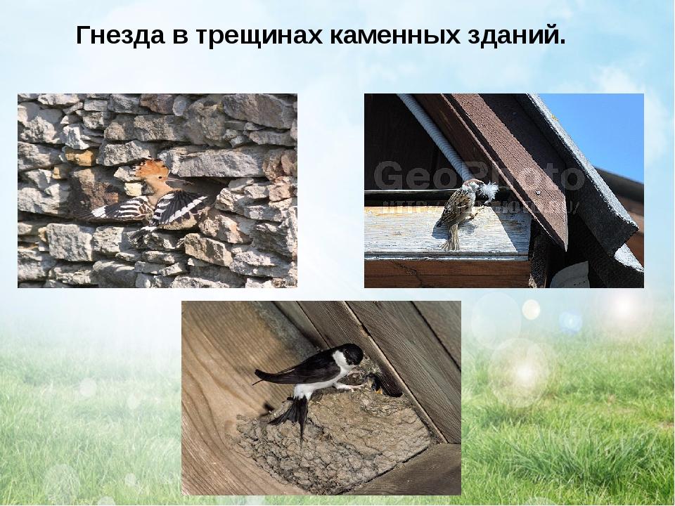 Гнезда в трещинах каменных зданий.