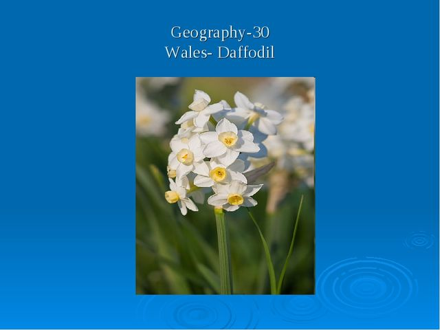 Geography-30 Wales- Daffodil