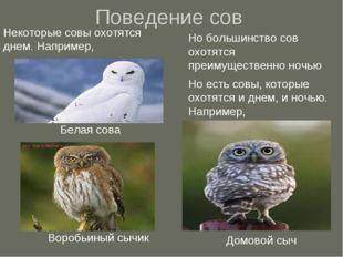 Поведение сов Некоторые совы охотятся днем. Например, Белая сова Воробьиный с