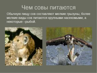 Чем совы питаются Обычную пищу сов составляют мелкие грызуны, более мелкие ви
