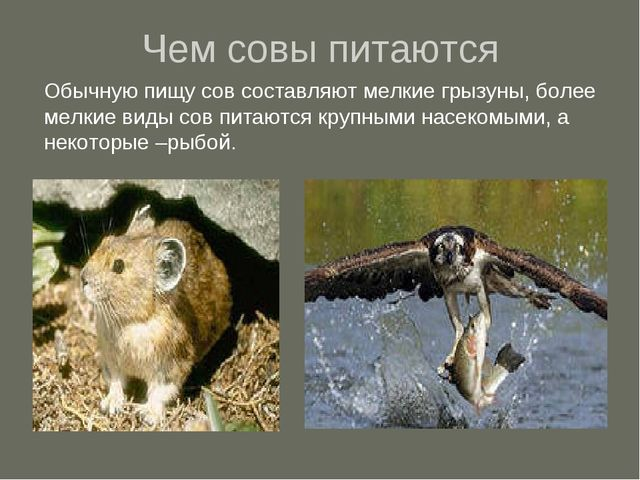 Чем совы питаются Обычную пищу сов составляют мелкие грызуны, более мелкие ви...