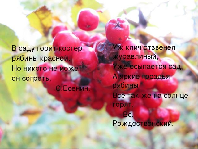 В саду горит костер рябины красной, Но никого не может он согреть. С.Есенин....