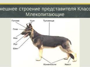 Внешнее строение представителя Класса Млекопитающие