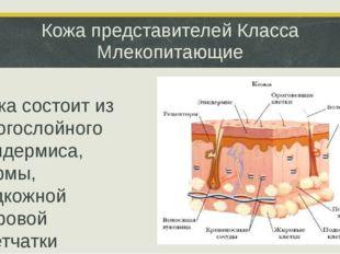 Кожа представителей Класса Млекопитающие Кожа состоит из многослойного эпидер