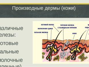 Производные дермы (кожи) Различные железы: -потовые -сальные -молочные (млечн