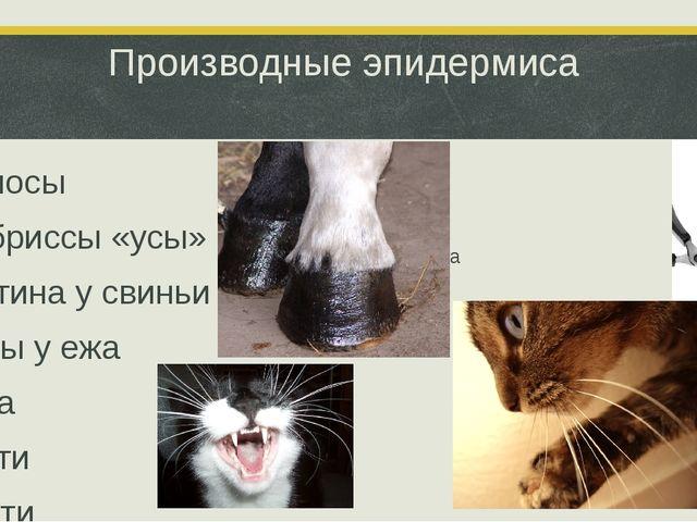 Производные эпидермиса -Волосы -Вибриссы «усы» -Щетина у свиньи -Иглы у ежа -...