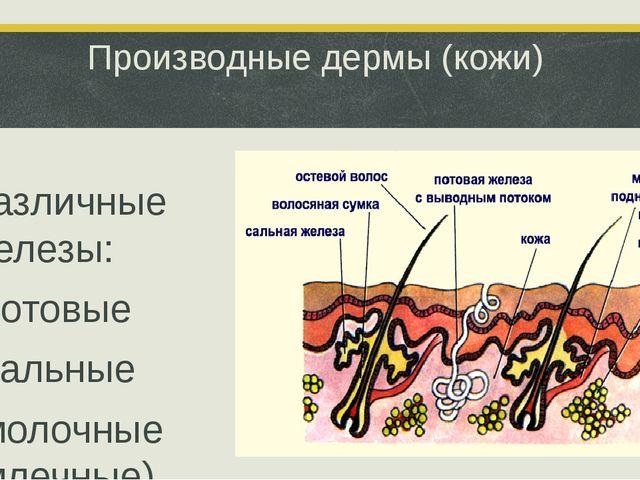 Производные дермы (кожи) Различные железы: -потовые -сальные -молочные (млечн...