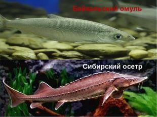 Байкальский омуль Сибирский осетр