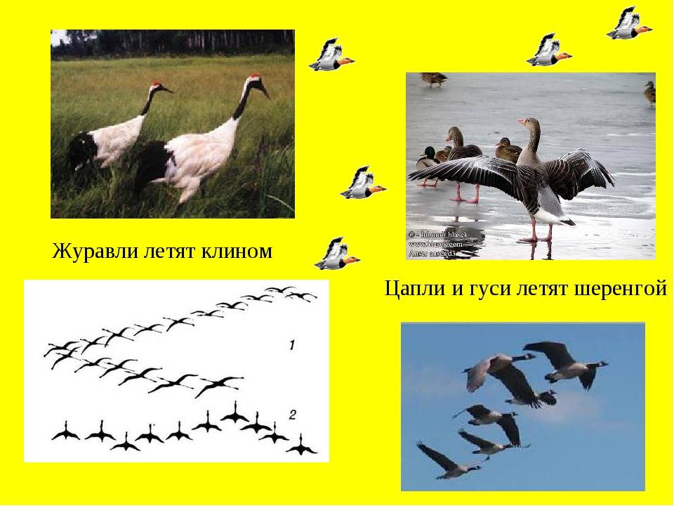Журавли летят клином Цапли и гуси летят шеренгой
