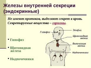 Железы внутренней секреции (эндокринные) Не имеют протоков, выделяют секрет в