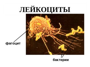 ЛЕЙКОЦИТЫ фагоцит бактерии