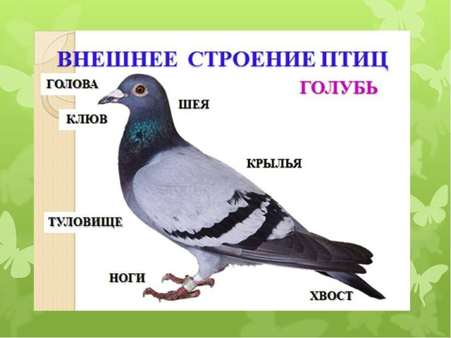 Внешнее строение птицы