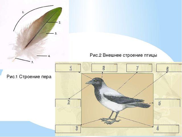 Рис.1 Строение пера Рис.2 Внешнее строение птицы
