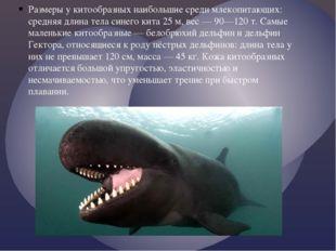 Размеры у китообразных наибольшие среди млекопитающих: средняя длина тела син