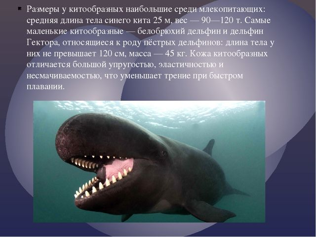Размеры у китообразных наибольшие среди млекопитающих: средняя длина тела син...