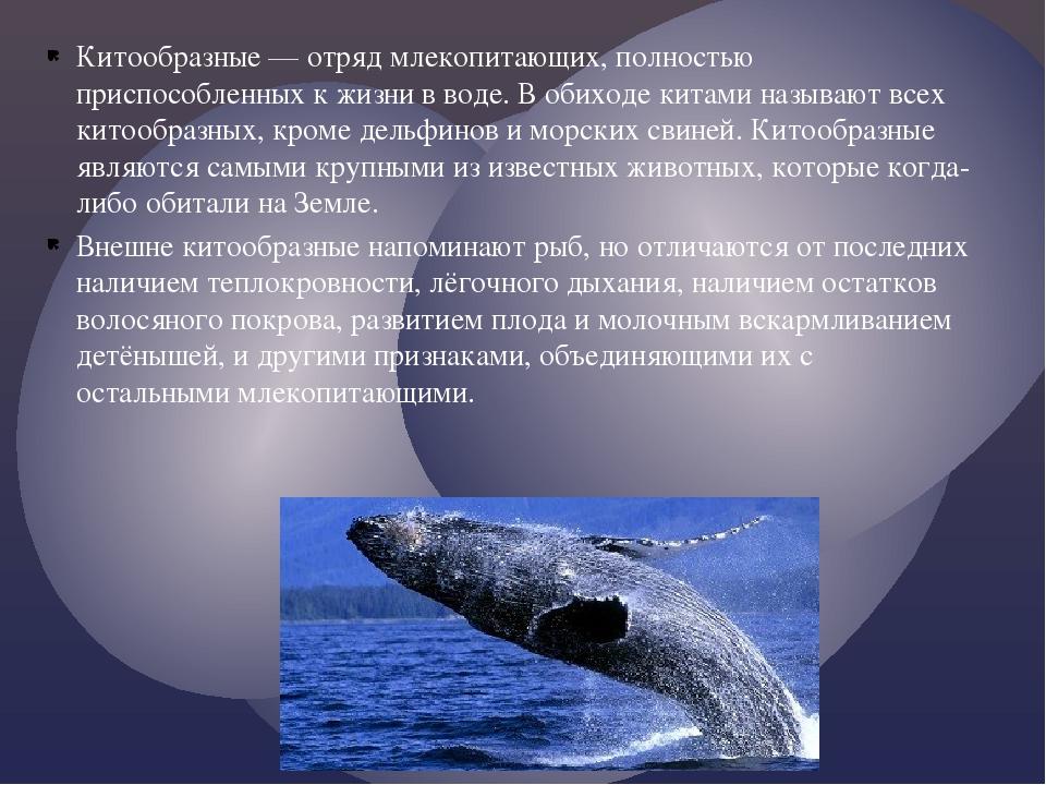 Китообразные — отряд млекопитающих, полностью приспособленных к жизни в воде....
