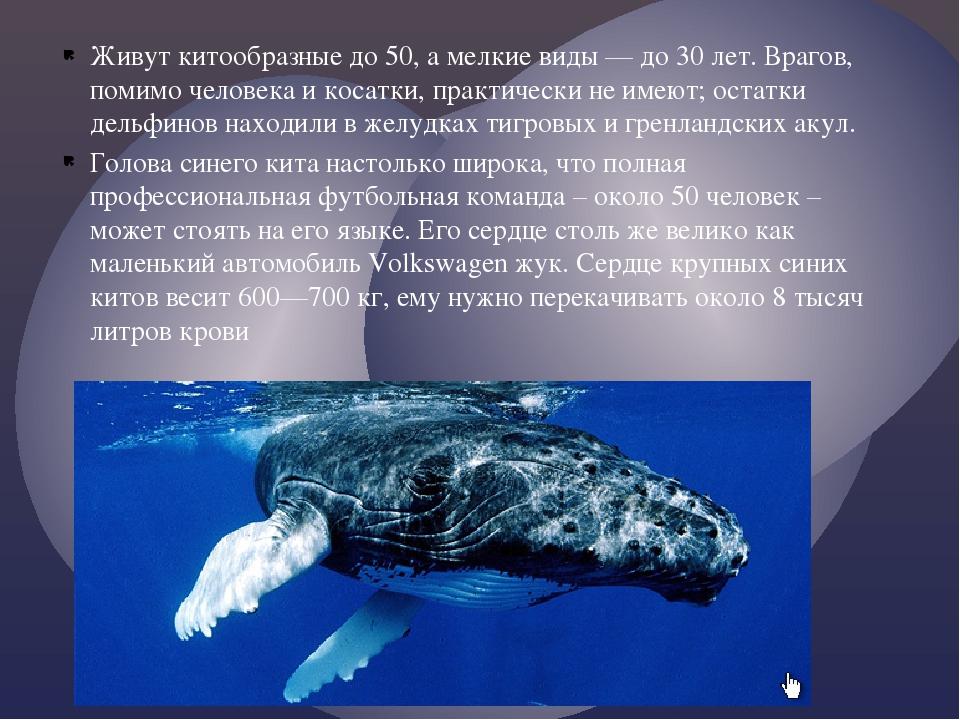 Живут китообразные до 50, а мелкие виды — до 30 лет. Врагов, помимо человека...