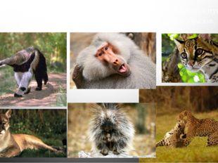 В неотропической области Центрально Америки встречаются пумы, ягуары и оцелот