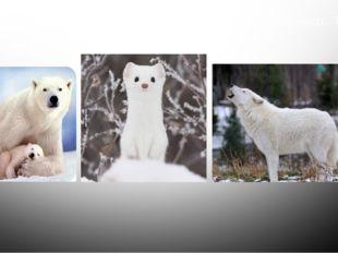На северном побережье материка встречается белый медведь. Тундру населяют та
